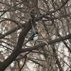 Eurasion Magpie