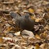Eurasian Turtle Dove