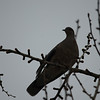 Eurasian Turtle Dove