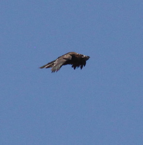 Korppikotkat (Vultures)