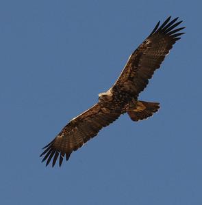 Kotkat (Eagles)