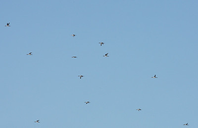 26.5.2018 Kirkkonummi, Finland  Pure flock of Red-throated divers on migration, Finnish Gulf
