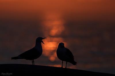 Gråtrutar i solnedgång