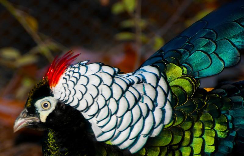 Lady Amherht's Pheasant