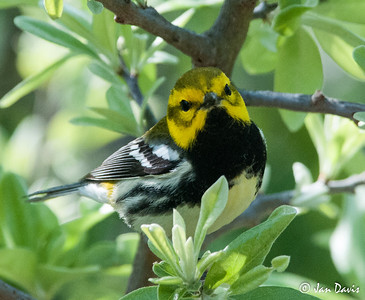 Black-throated Green Warbler