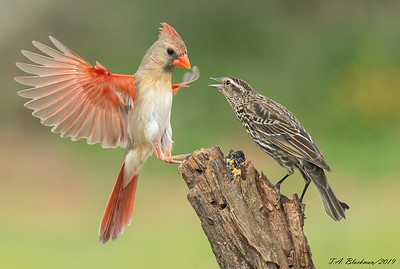 Northern Cardinal and Red-winged Blackbird