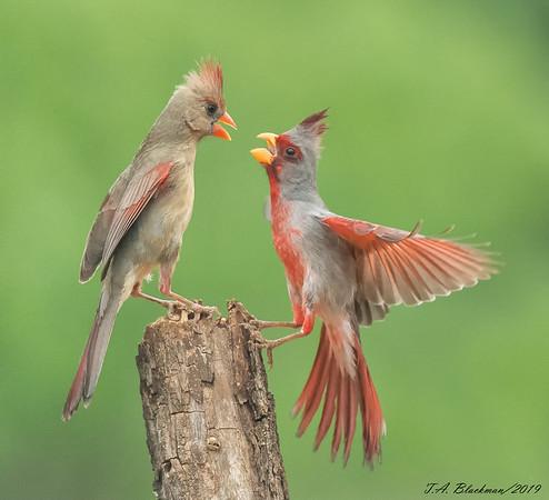 Pyrrhuloxia and Northern Cardinal