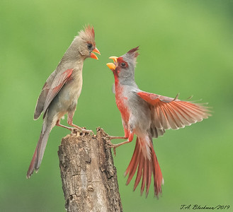 Pyrrhuloxia and Northern Cardinal