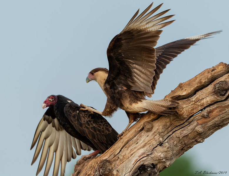 Crested Caracara and Turkey Vulture