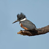 Female Belted-Kingfisher