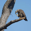Juvenile Bald Eagle scratching.