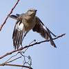Northern Mockingbird taking flight