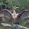 Double-crested Cormorant drying wings in the sun