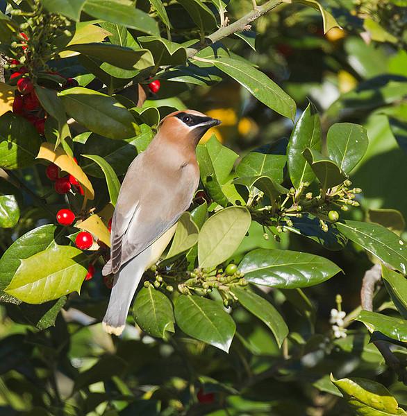 Cedar Waxwing in the berry bush.