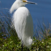 The Egret, my friend, is blowing in the wind.