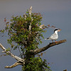 Tern in the tree