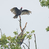 Turkey vulture tries to show-off to  the bald eagle underneath.