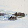Adult nutria and baby.