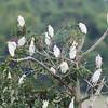 Tree full of Cattle Egrets