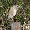 Juvenile Night Heron.