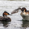 Female Grebe flapping its wings also has a tiny fish for the chicks