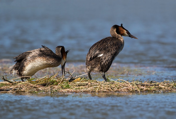 Male Grebe moving the egg.