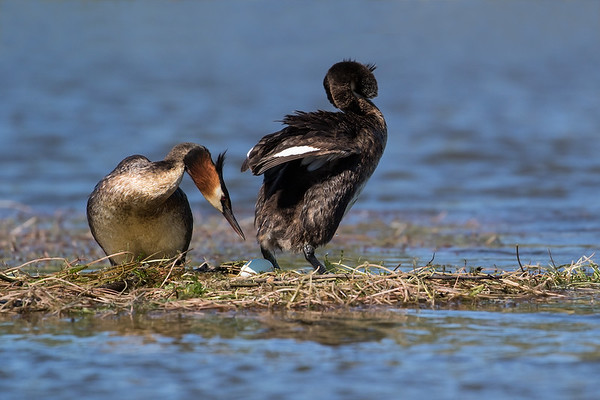 Very proud Grebe Dad inspecting the egg