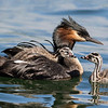 Male Grebe and 2 chicks