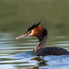 Crested Grebe - Christchurch