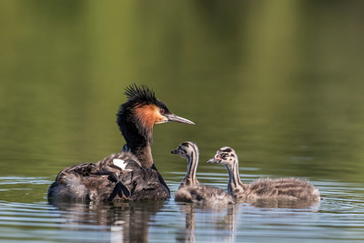 Grebe with chicks