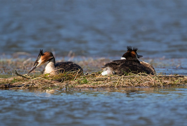 Crested Grebe laying an egg