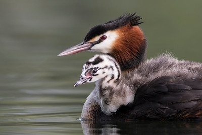 Crested Grebe - female