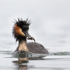 Crested Grebe - male