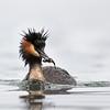 Crested Grebe - male