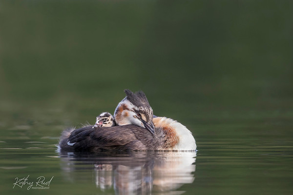 Juvenile Grebe and chick chilling out