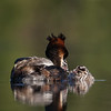 Crested Grebes