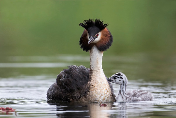 Male Grebe and chick