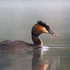 Crested Grebe, male