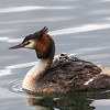 Female Grebe with 1 chick and 3 others hiding under the feathers