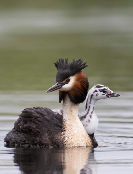 Male Grebe with chick