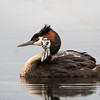 Male Crested Grebe with chick