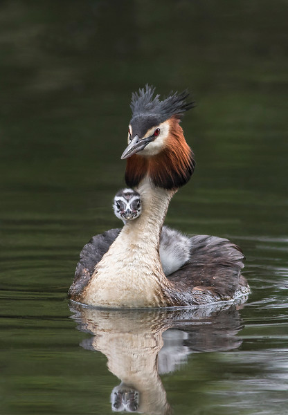 Female Grebe with a cheeky chick