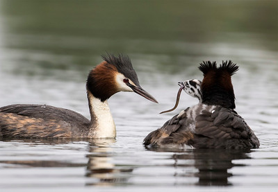 Grebe chick being fed an eel