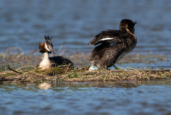 Crested Grebe just finished laying it's first egg.