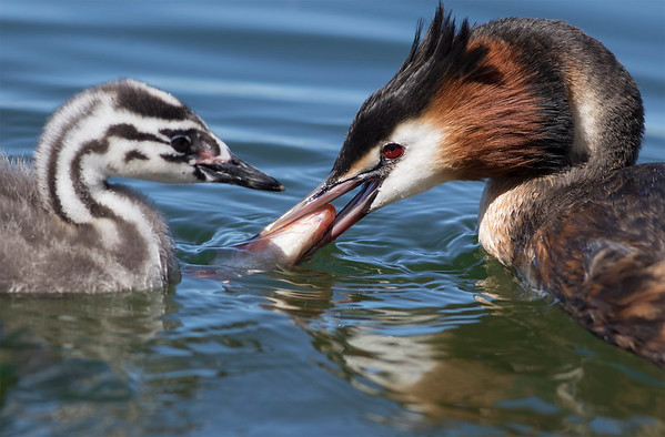 Crested Grebe with small fish