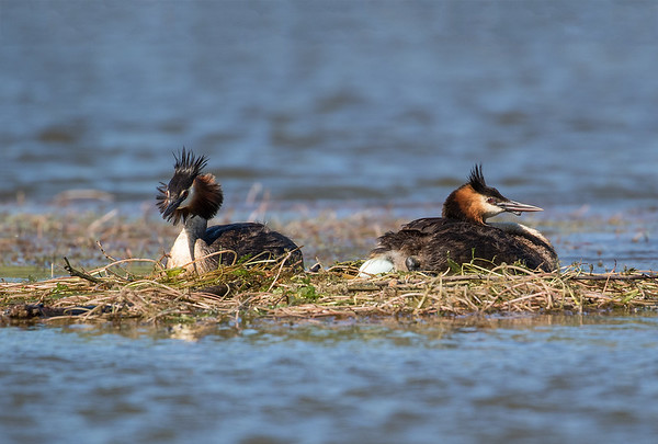 Crested Grebe laying the first egg for this nest.