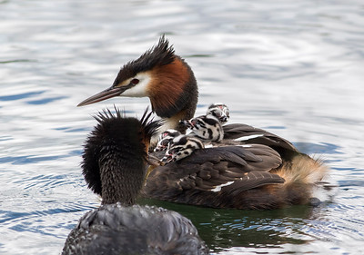 Daddy Grebe feeding a tiny fish to the chicks on their mumma's back