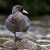 Blue Duck - Whio