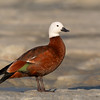 Paradise Shelduck  - female