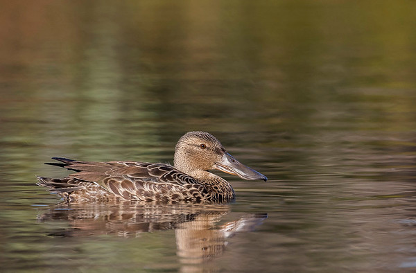 Australasian Shoveler - Adult female